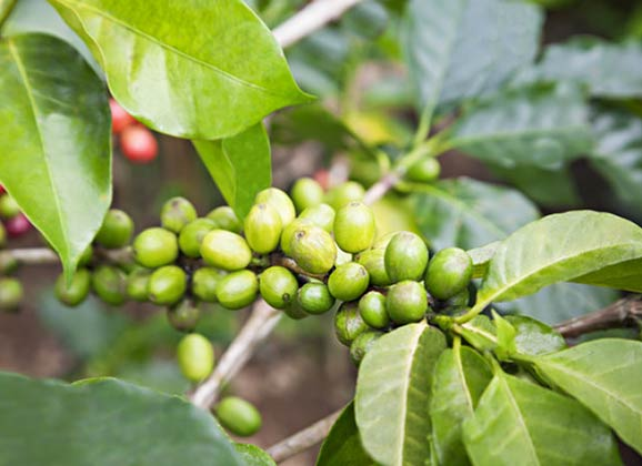 green coffee berries